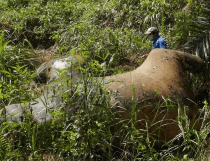 Gajah Pygmy Borneo ditemui mati di Lahad Datu