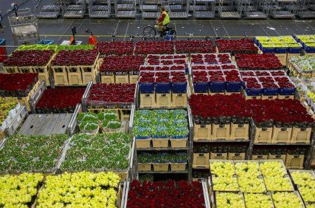 Ratusan juta bunga dimusnahkan, permintaan berkurangan diganggu penularan wabak