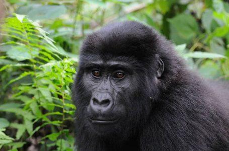 Prihatin terhadap risiko gorila terdedah koronavirus, taman nasional ditutup