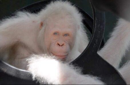 Orangutan albino luarbiasa ditemukan di hutan hujan Borneo