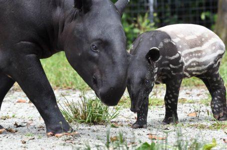 Hari Tapir Sedunia: Orang awam perlu mainkan peranan untuk selamatkan tapir dari kepupusan
