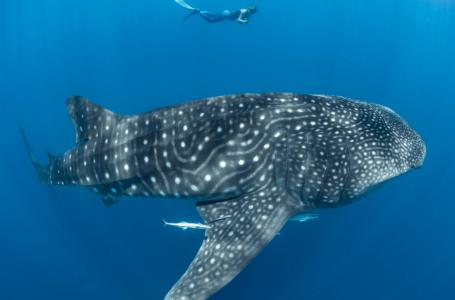 Kehidupan ikan yu paus boleh menjangkau sehingga abad tahun