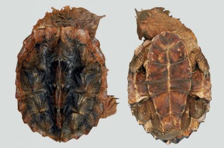 Saintis terokai spesies 'pelik' baru kura-kura matamata dari Amerika Selatan